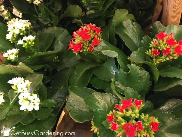 Kalanchoe Houseplant With Small Red Flowers