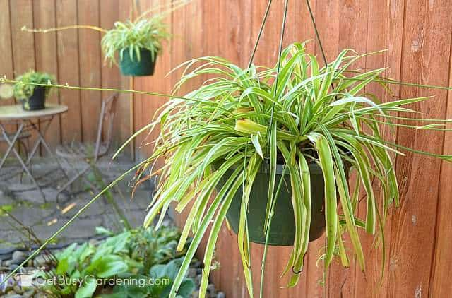 Spider plants are air purifying house plants