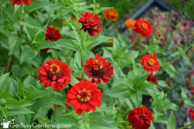 Zinnia seeds are simple to grow inside from seeds
