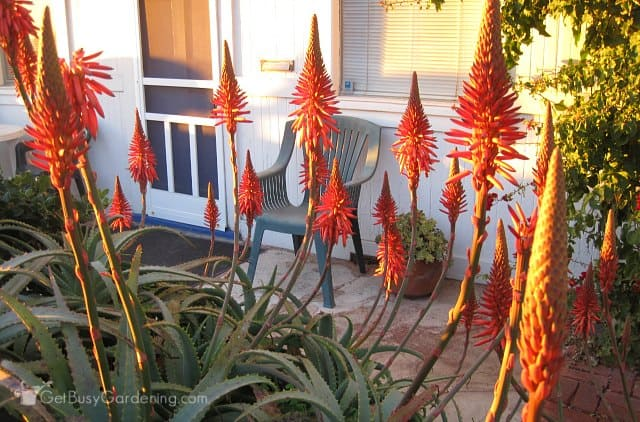 Aloe plant blooming