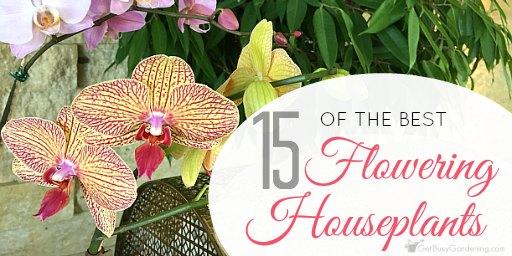 Flowering indoor house plants 15 of the best flowering houseplants mightylinksfo