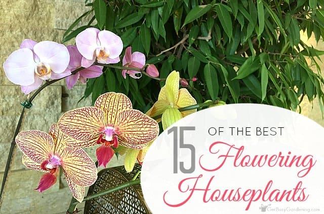 Flowering Indoor House Plants: 15 Of The Best Flowering Houseplants