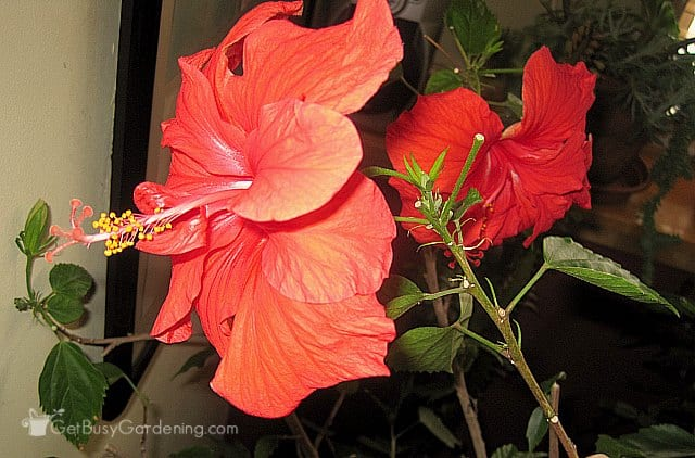 Tropical hibiscus blooming