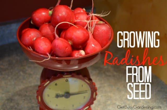 Growing Radishes From Seed