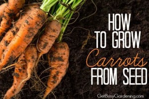 How To Grow Carrots From Seed | GetBusyGardening.com