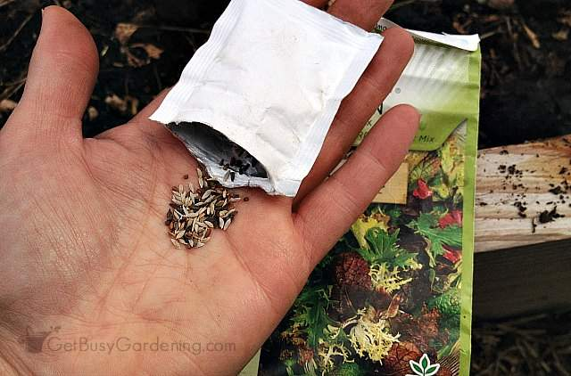 Lettuce seeds ready to sow