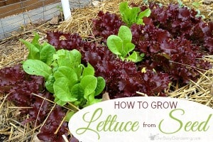 Planting Lettuce Seeds & Tips For Growing Lettuce From Seed