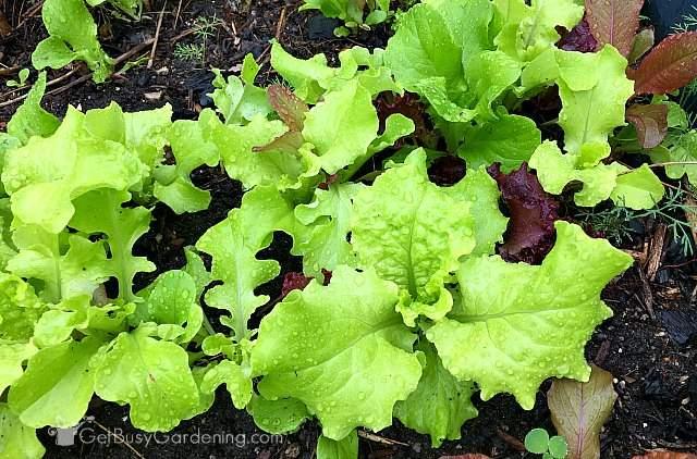 Ready to start harvesting lettuce