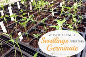 What To Do With Seedlings After They Sprout (Germinate) Indoors