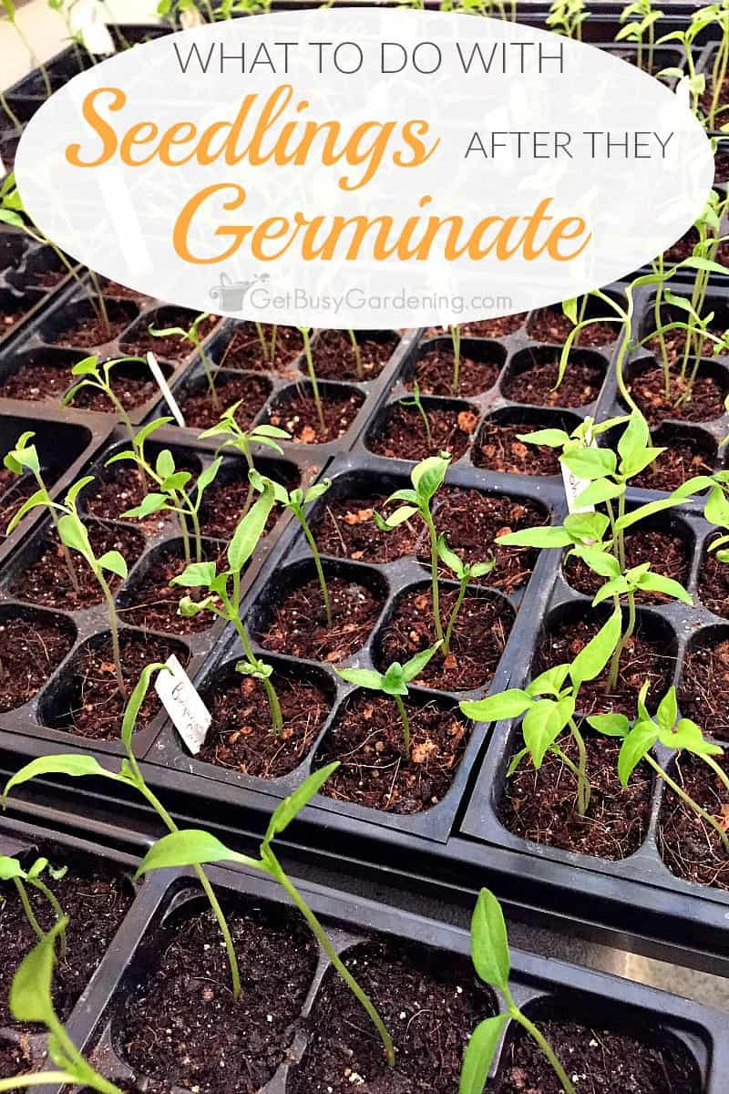Wondering how to care for seedlings after they sprout? This post will show you exactly what to do with seedlings once they start growing indoors.