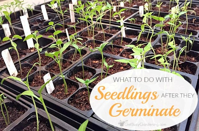 What To Do With Seedlings After They Germinate Indoors