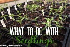 What To Do With Seedlings After They Sprout