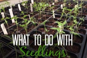 What To Do With Seedlings | GetBusyGardening.com