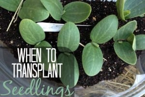 When To Transplant Seedlings | GetBusyGardening.com