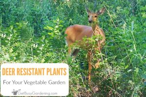 30+ Deer Resistant Vegetables And Herbs
