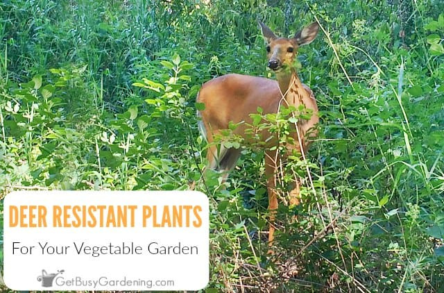 Deer Resistant Vegetables And Herbs For Your Garden