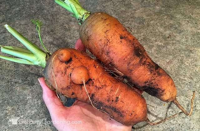 Harvesting carrots grown from seed