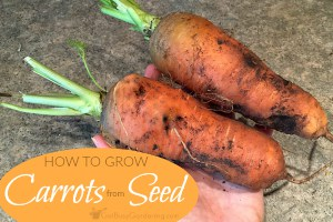 Planting Carrot Seeds & Tips For Growing Carrots From Seed