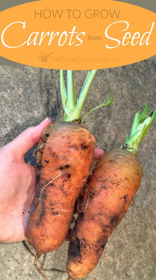 This step-by-step guide for planting carrot seeds shows you exactly how to grow carrots from seed. Includes carrot growing tips & how to harvest carrots.
