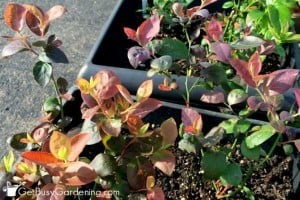 The Blueberry Project   GetBusyGardening.com