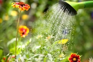 Watering flowers with a watering can | GetBusyGardening.com