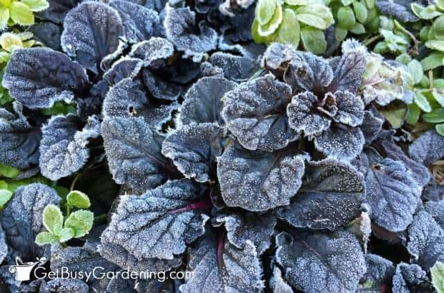 Cold weather flowers and plants, like ajuga, don't need frost protection