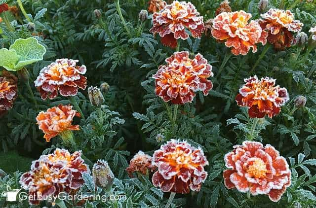 Frost sensitive plants, like marigolds, need protection from frost