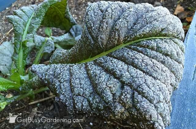 Frosty Mustard Leaf