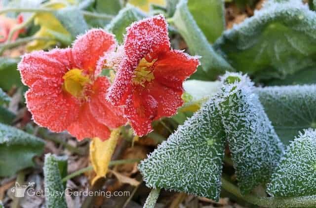 Frosty Nasturtium