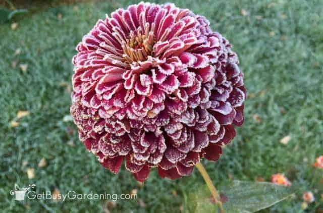 Frozen Zinnia Flower
