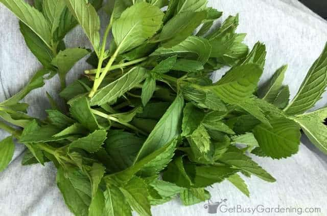 Mint from organic indoor herb garden