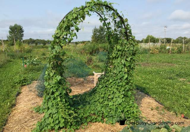 Cucamelons Growing On Squash Arch
