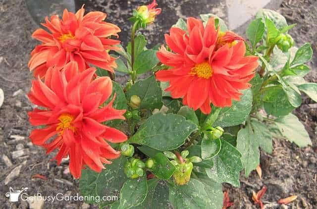 Dahlia Rigletto Flowers