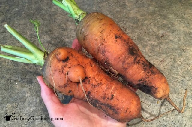 Giant Carrots