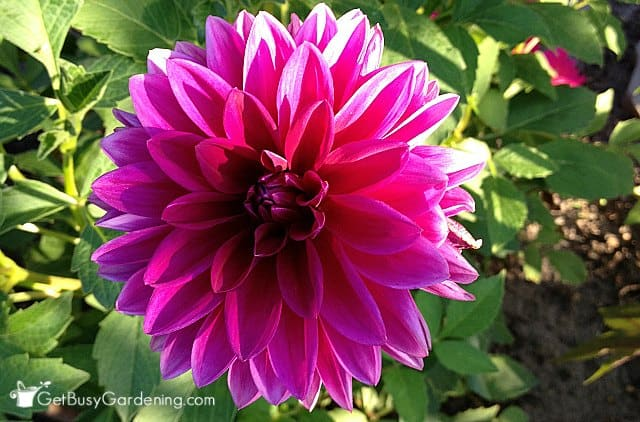 Gorgeous Dahlia Flower