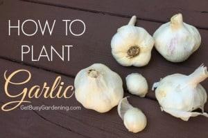 How To Plant Garlic | GetBusyGardening.com