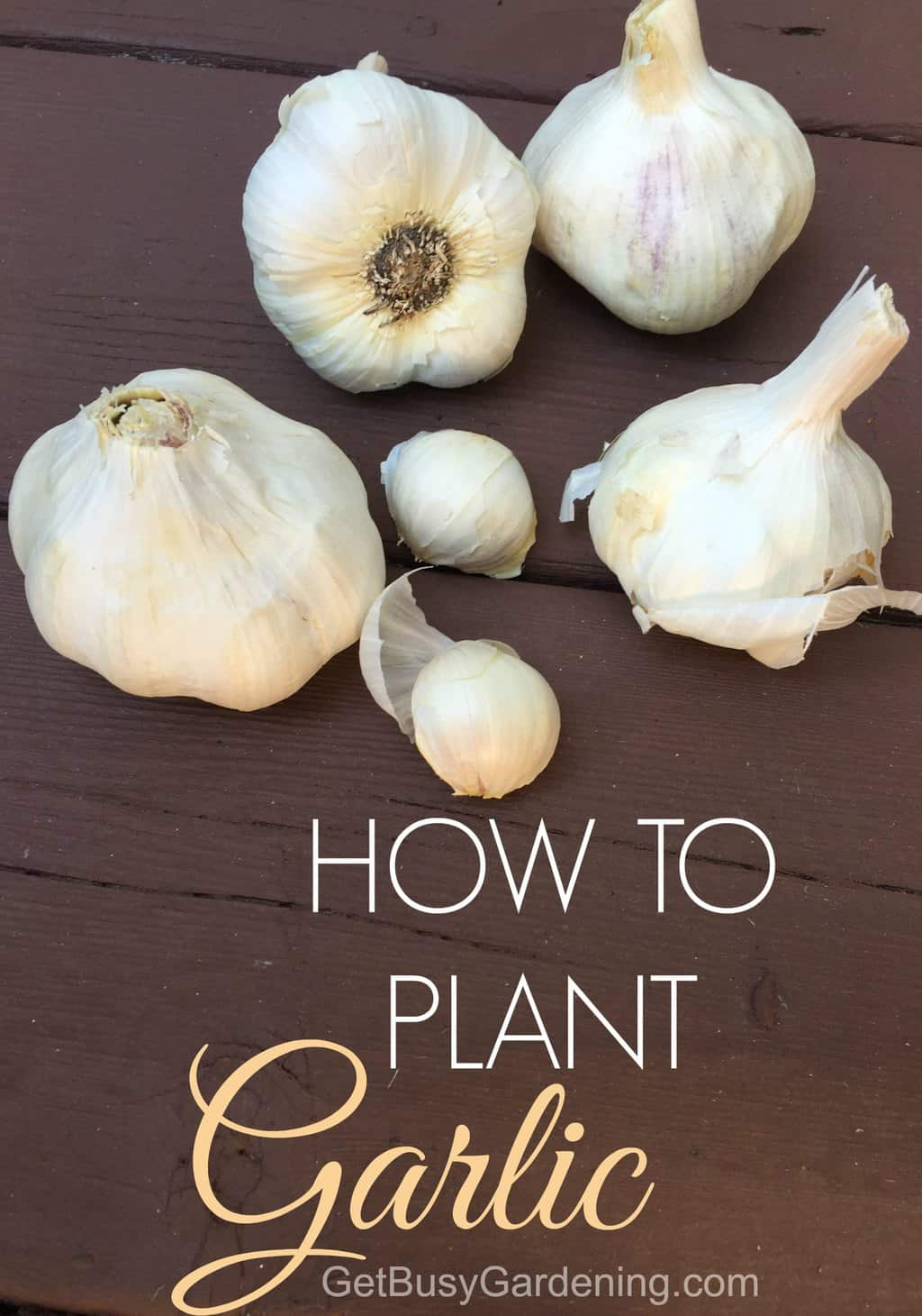 Growing garlic is actually pretty easy, but timing is everything. Learn how to plant garlic in your garden in just a few simple steps.