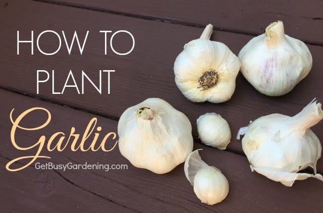 Growing garlic is actually pretty easy, but timing is everything. Learn how to plant garlic in just a few simple steps. Soon you'll be harvesting your own, beautiful home grown garlic!