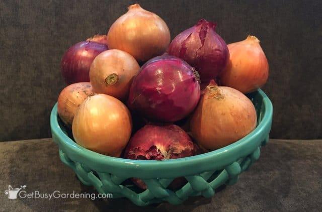 Bumper Crops Of Onions