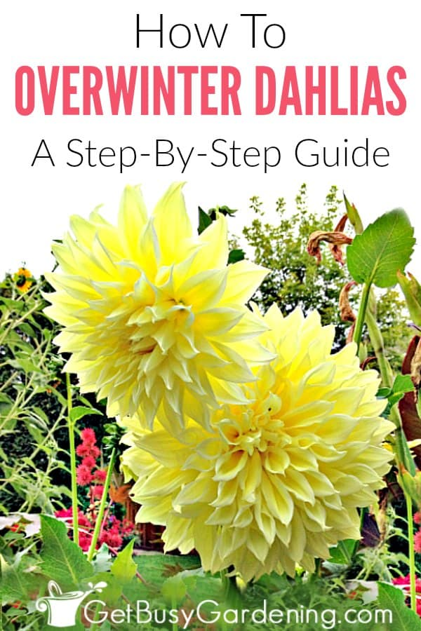 Dahlias have bulbs that can easily be overwintered indoors and planted in your garden again next summer. You can dig up the bulbs in the fall before putting them in storage, or just leave them in their pots. Follow these simple step-by-step instructions for storing dahlia bulbs for winter, and get tons of tips for overwintering dahlia flower bulbs.