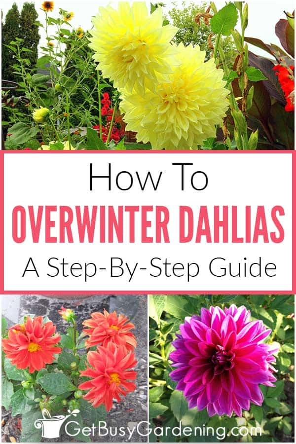 How To Overwinter Dahlias: A Step-By-Step Guide
