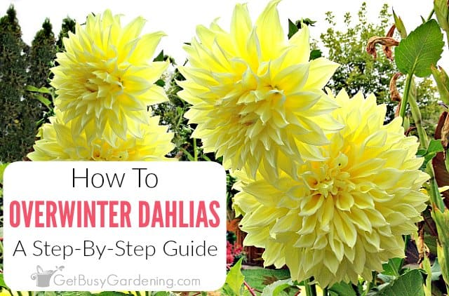 How To Store Dahlia Bulbs For The Winter