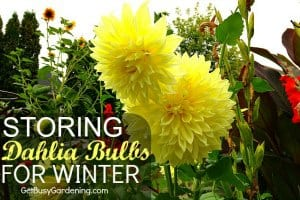 Storing Dahlia Bulbs For Winter