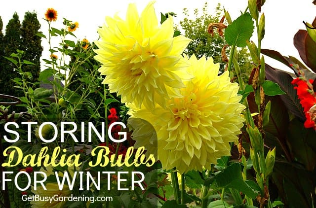 You can keep your favorite dahlias and grow them in your garden year after year. Follow these easy steps for storing dahlia bulbs for winter.
