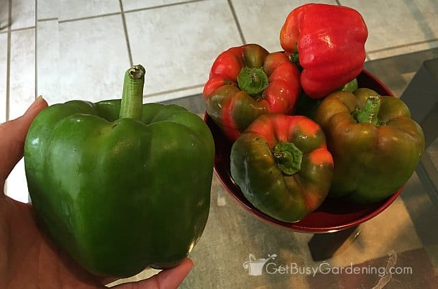 Organically grown peppers from my garden