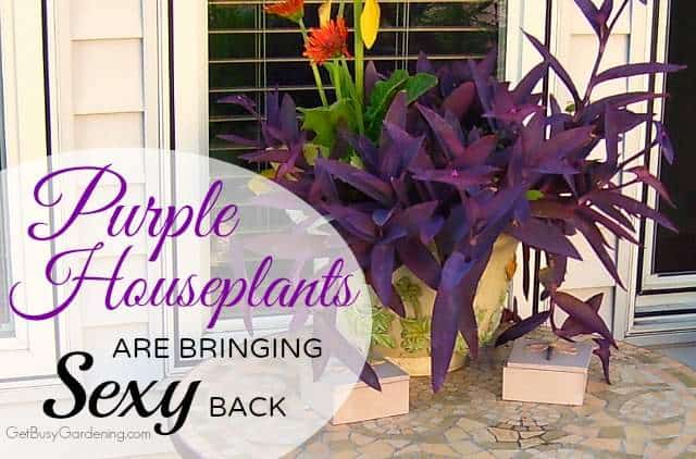 purple houseplants are bringing sexy back