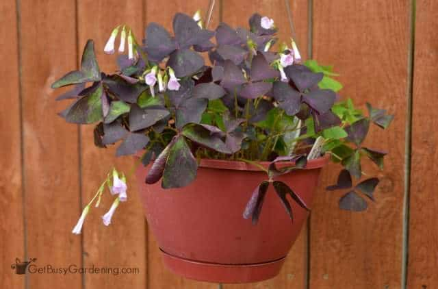 Purple Oxalis Houseplant