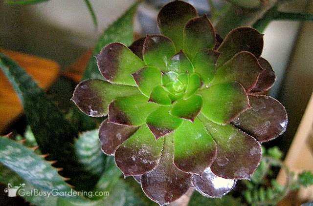 Purple Succulent Houseplant