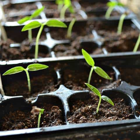 seedlingsSprouting-salesPage