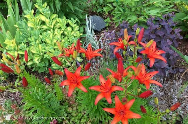 Dramatic perennial foliage color